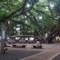 Woman sitting under the Maui banyan tree in Lahaina, HI