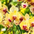 Beautiful yellow orchids at the Kula Botanical Garden